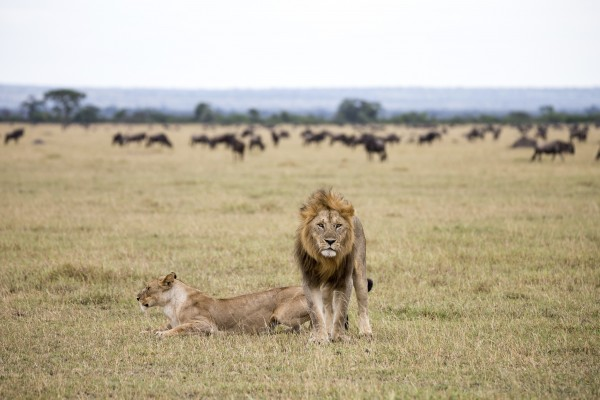 Lions in a national park in Tanzania