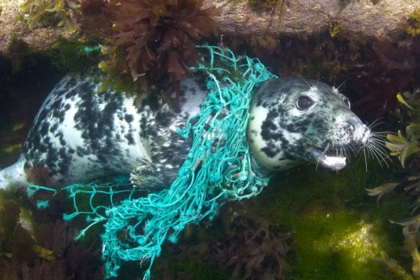 Seal tangled in ghost gear in the UK - Sea Change - World Animal Protection