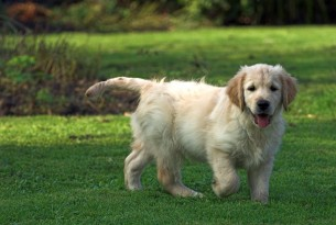 Golden retriever puppy, 11 weeks old