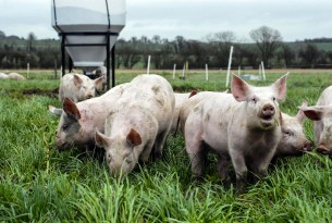 Pigs on a UK farm