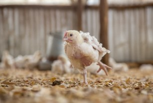 Subway joins chain reaction to improve chicken welfare
