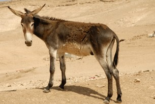 A donkey on the Eastern slopes of the Bedouin community in Palestine.