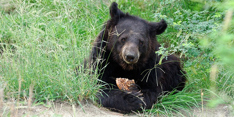 A bear sitting in the tall green grass, eating a biscuit prepared by the sanctuary staff