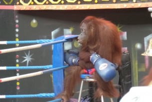 The Cruelty behind Orangutan Boxing