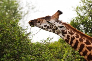 A giraffe's sniffs some leaves in Nairobi National Park, Kenya