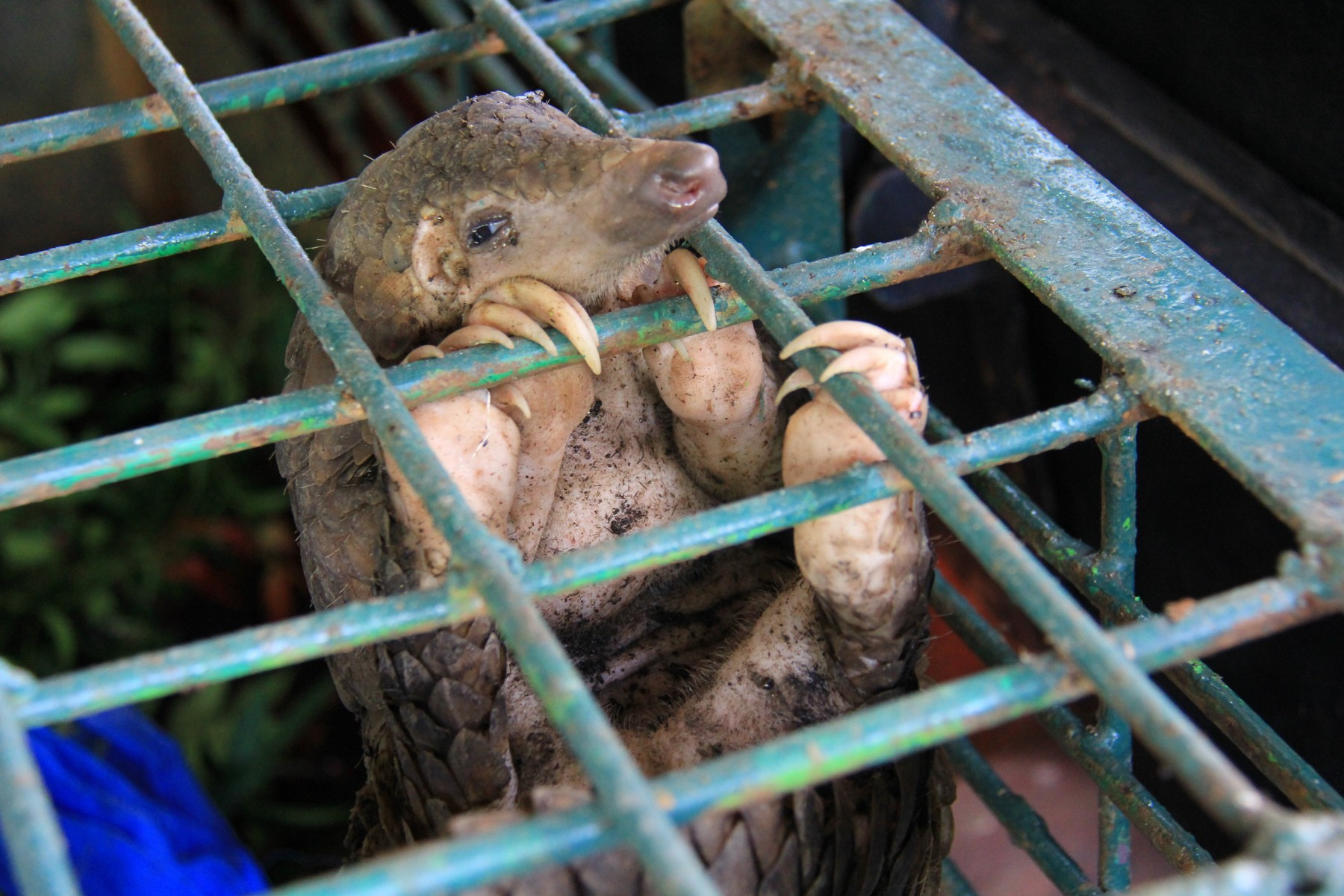 Caged pangolin in a market
