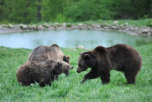 Bears at Zarnesti Sanctuary in Romania