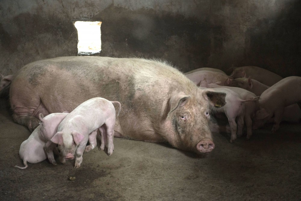 Open Philanthropy invests in the welfare of pigs in China