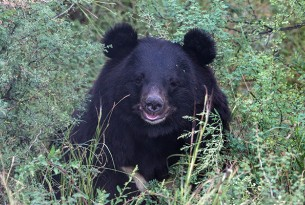 An Asian black bear sitting in the sanctuary. The bottom half of their body is hidden behind tall green grass. They have round ears and the tip of their muzzle is a light grey colour.