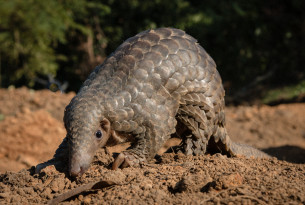 Pangolin in the wild
