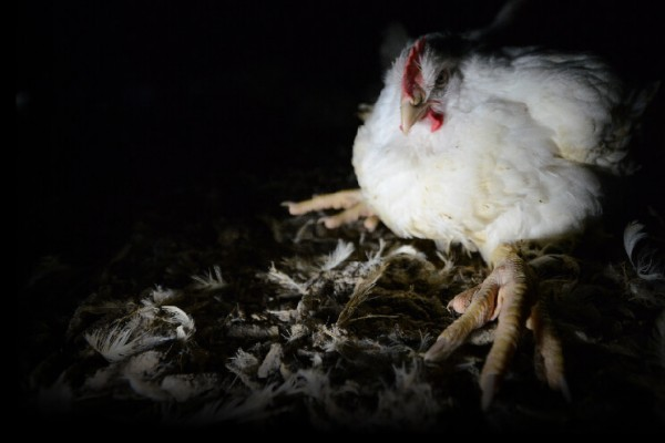 Give New Zealand's chickens more room to move.