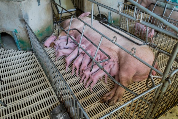 Spare a thought for mother pigs on factory farms this Mother's Day