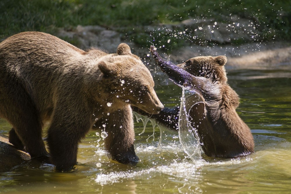 A mother bear and cub playing in a pond