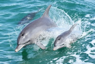 Wilde dolfijnen