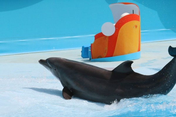 A dolphin performing for entertainment. Wildlife. Not entertainers - World Animal Protection