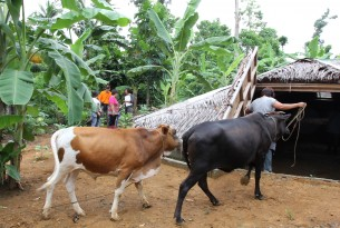 Preparing for the worst in the Philippines with storm shelters for livestock