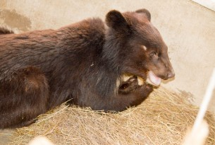 Raja the rescue bear cub recovering well at sanctuary