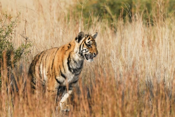Tiger Facts | World Animal Protection USA