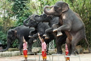 Elephants performing