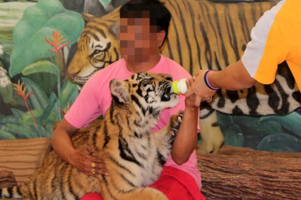 Touist taking photo with tiger at wildlife attraction - Wildlife. Not entertainers - World Animal Protection