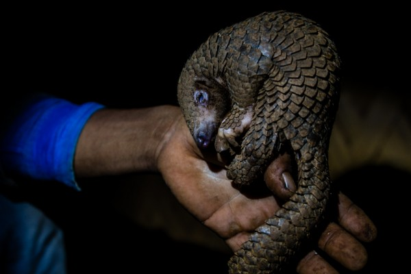 A poached pangolin in Northern India