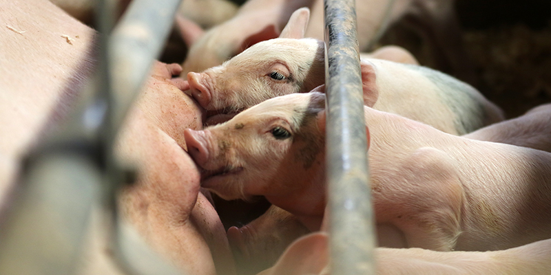 Piglets in a factory farm, reaching through metal bars to nurse on their mother's teats