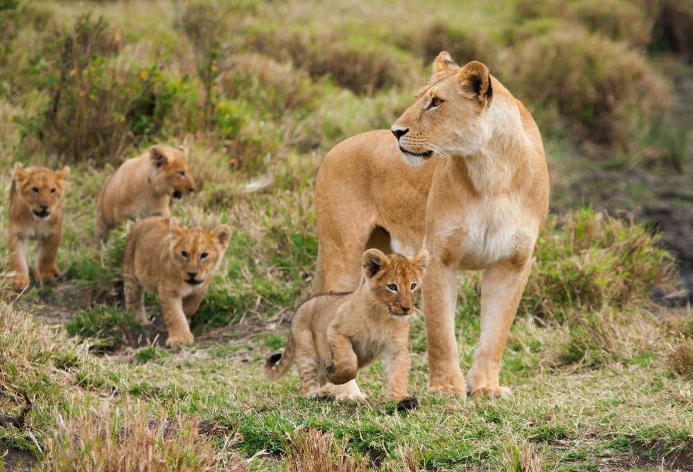 A lioness and her four young cubs in a national park in Kenya. World Animal Protection believes that wild animals should be left in the wild and not be used for entertainment. Credit Line: iStock. by Getty Images