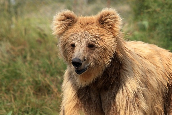 Leela not long after she moved in the Balkasar bear sanctuary
