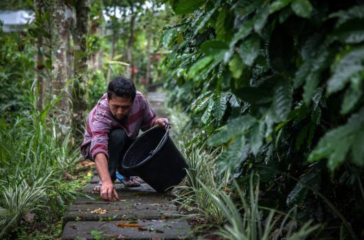"Pictured: an employee picks up wild civet cat faeces at a \""Luwat\"" coffee farm in Landih, Bangli, Bali, Indonesia."