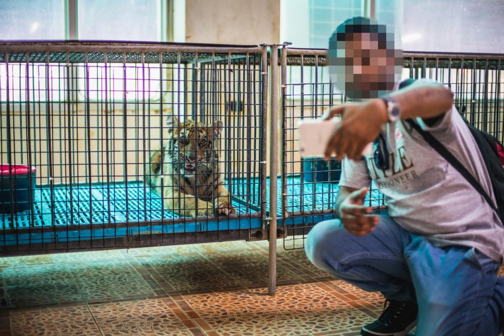 person taking selfie with captive tiger