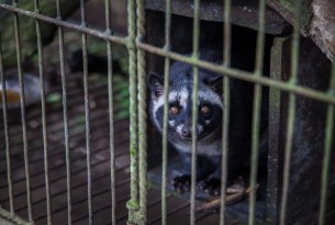 Caged civet coffee banned by UTZ Certified