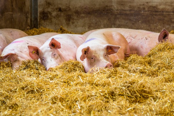 Pigs in group housing with deep beds in a higher welfare indoor farm in the UK