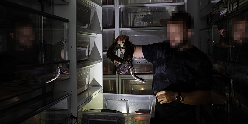 "A breeder holds a Ball python up to the light. Behind him, several ""racks"" of drawers where the snakes are kept."