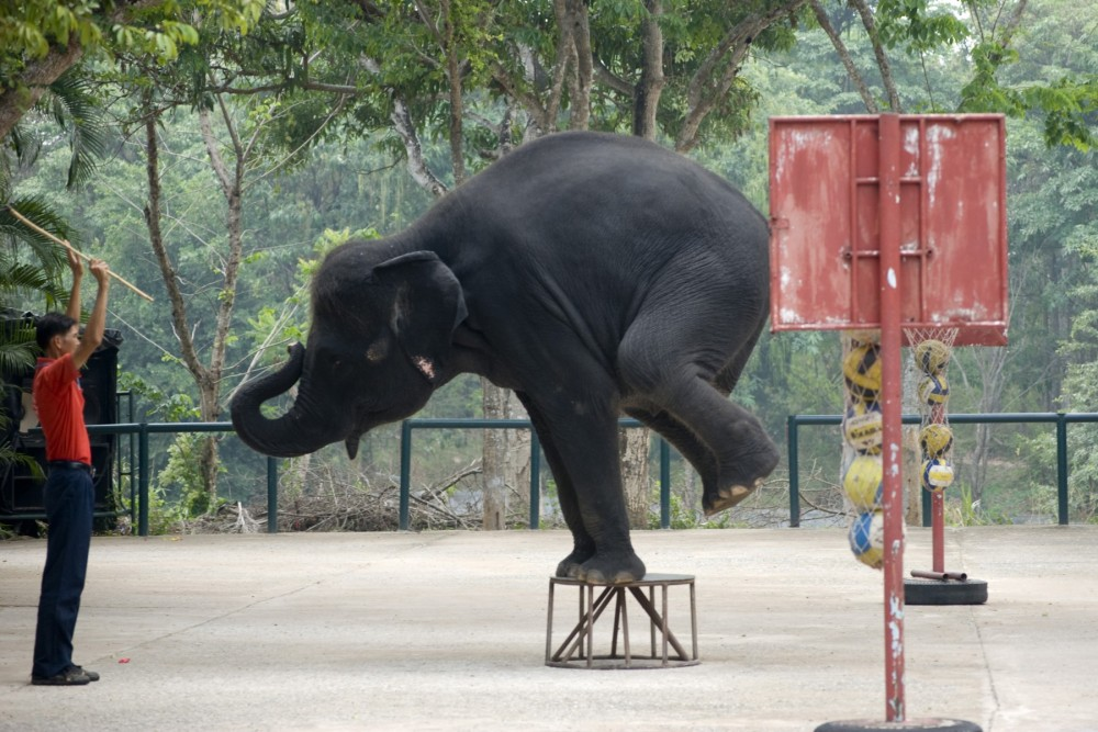 A mahout steers an elephant in a show at a zoo in Thailand
