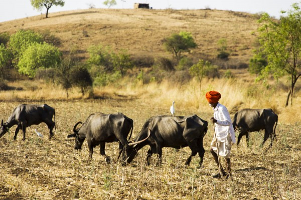 A man herds his water buffalo through parched terrain in Beed Block, Beed district, Maharashtra, India