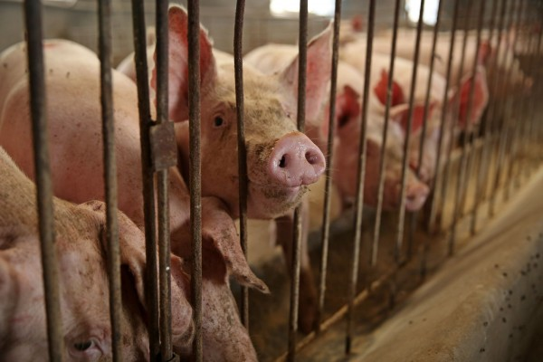 Pigs are emotionally complex animals with feelings, not just a food source