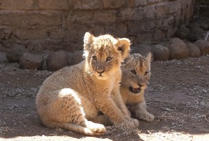 Lion cubs in a barren facility in Southern Africa. World Animal Protection conducted an investigation into lion parks and the use of wildlife as entertainment.