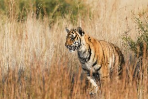 11 facts about tigers in the wild and in captivity