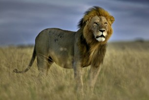 A storm cloud looms behind an adult male lion on the plains of the Masai Mara national reserve in Kenya.