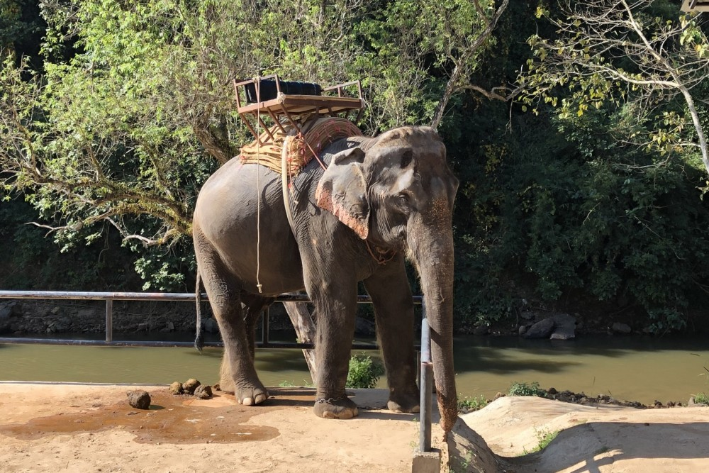 elephant being used for rides in Thailand