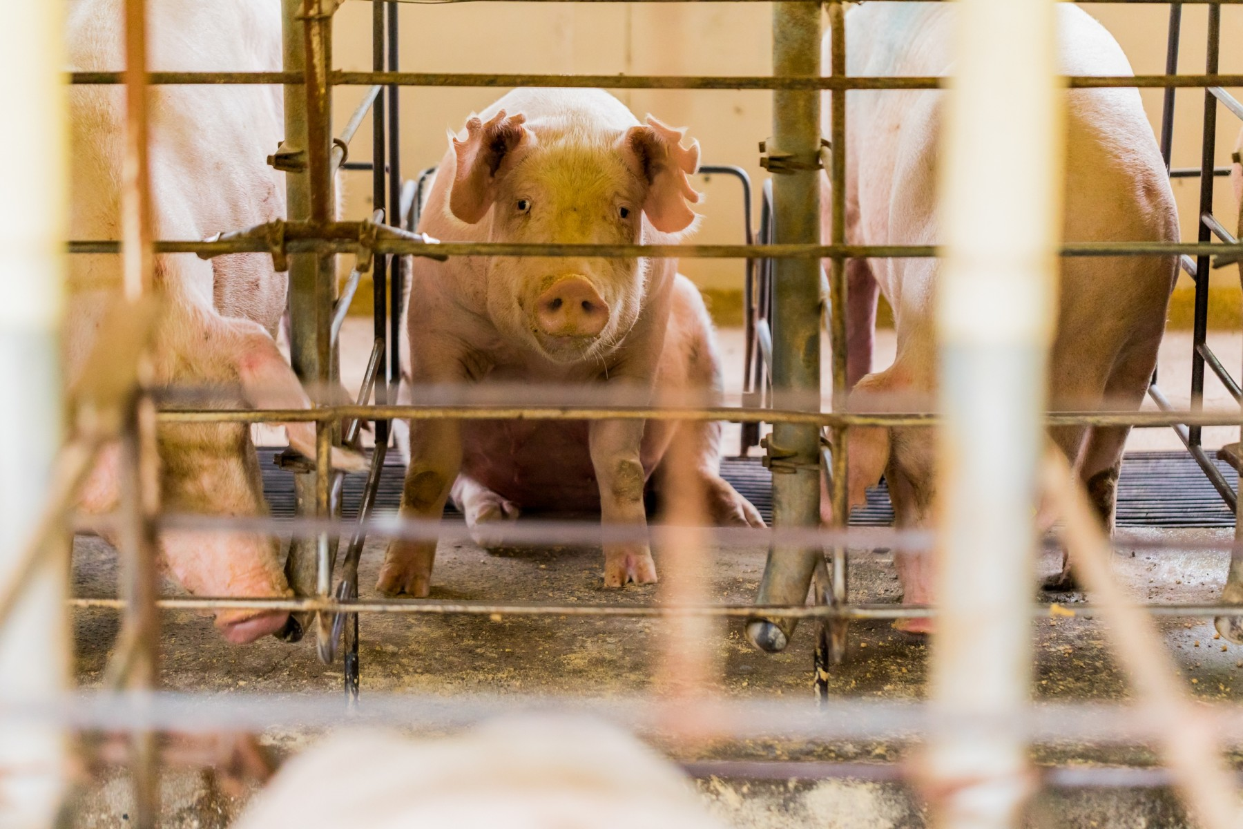Pig looking out of her cage on a factory farm - World Animal Protection