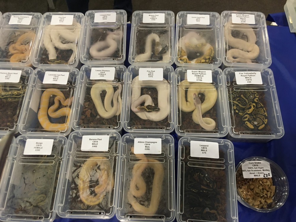 Ball pythons for sale at a pet expo - Wildlife. Not pets - World Animal Protection