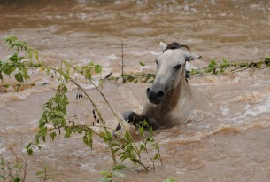 A horse in Nicaragua gets caught in the flood waters after Hurricane Jova - World Animal Protection - Disaster management