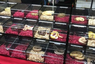 Snakes in perspex boxes at Doncaster reptile show