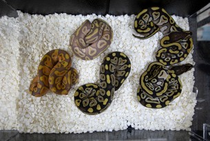 Pythons in containers, Repticon pet expo, Memphis - World Animal Protection