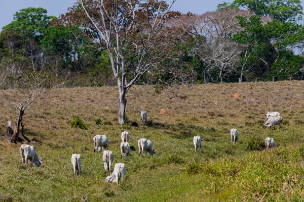 Cattle grazing on deforested land in Acre, Brazil