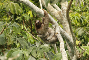 10 facts about sloths, nature's slowest animals