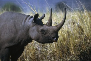 A black rhinoceros in the wild - DeAgostini / Getty Images