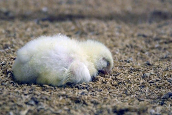 7 day old chick - World Animal Protection - Change for chickens