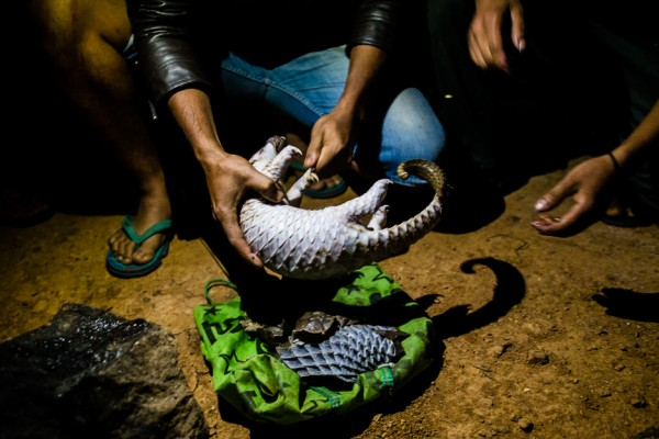 Pangolins are poached from the wild to be sold into the global wildlife trade